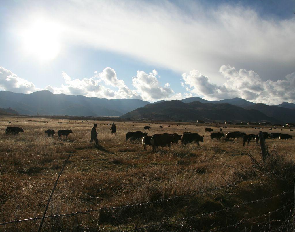 Yaks grazing in Shangri-la