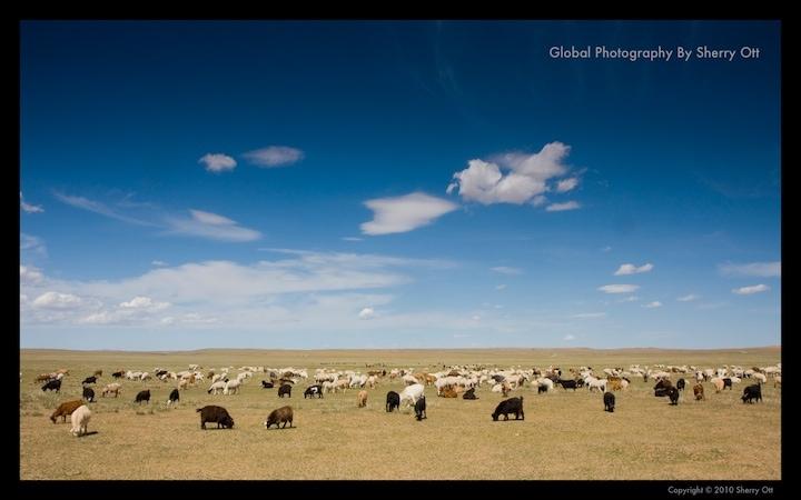 Mongolian goats