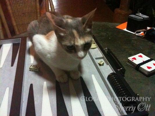 bakcgammon cat