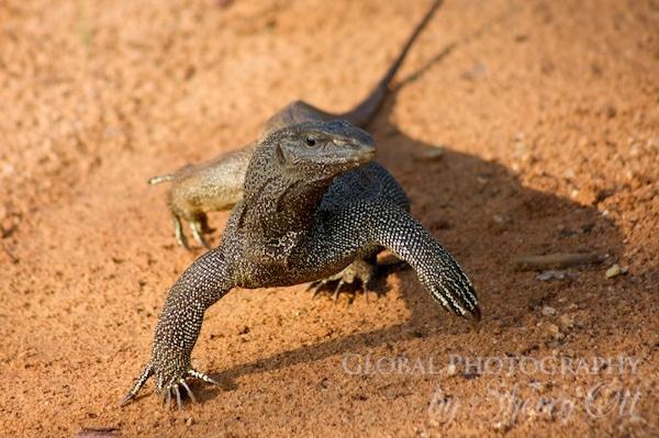 running lizard