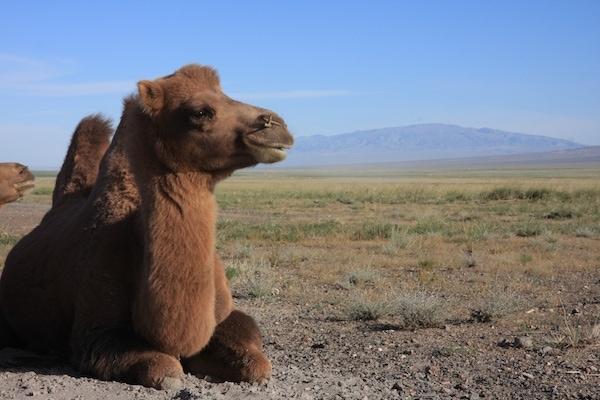 camel mongolia