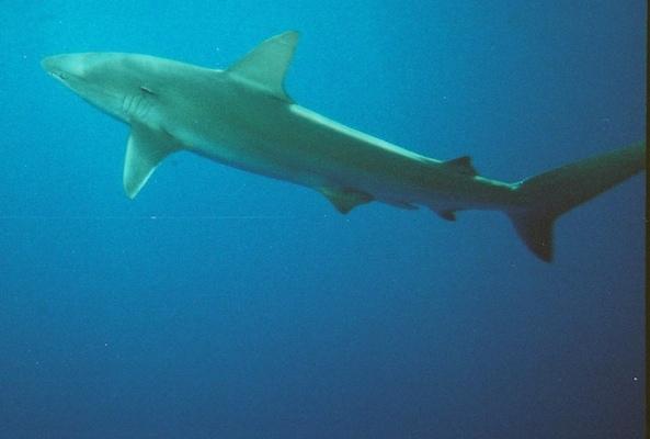 shark cage hawaii