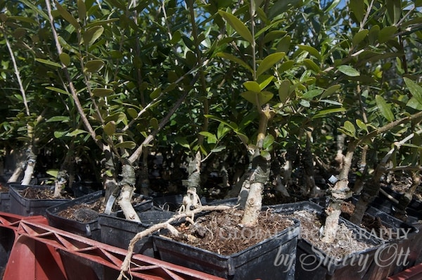 grafted olive trees