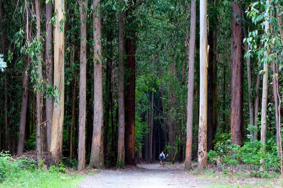 eucalyptus trees camino