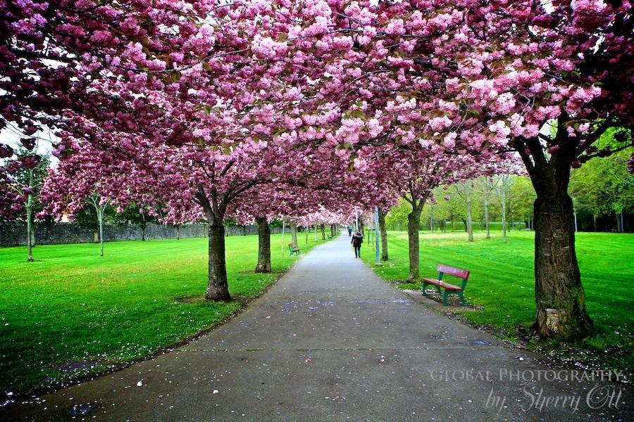 Flowering trees in Pamplona