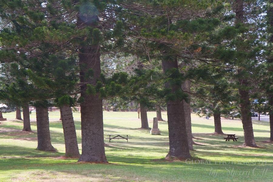 lanai pine trees Dole Park