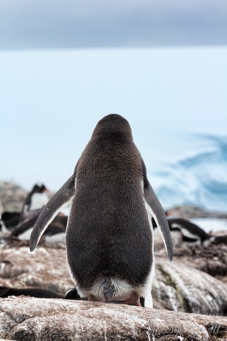 Baby Got Back - Penguin rear view