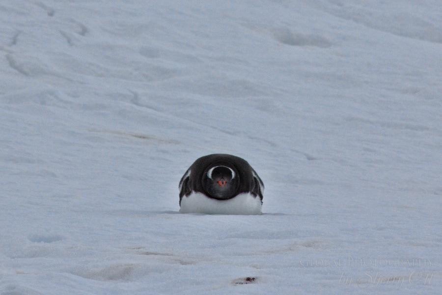 Penguin head on