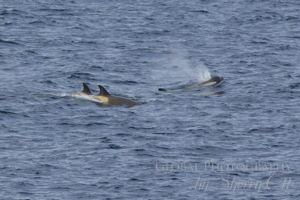 Orca whales harass a Minke whale