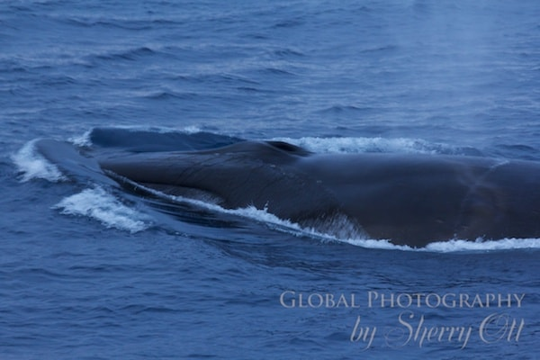 A fin whale comes up right in front of the ship!
