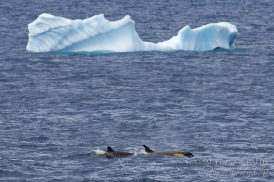 A pack of orca (killer) whales hunt/aggravate a minke whale