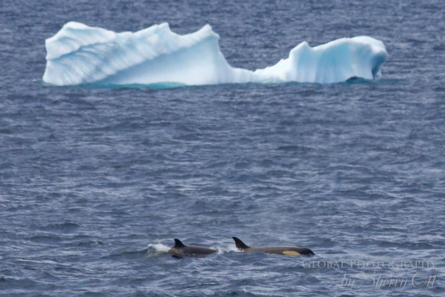 A pack of orca (killer) whales hunt/aggravate a minke whale