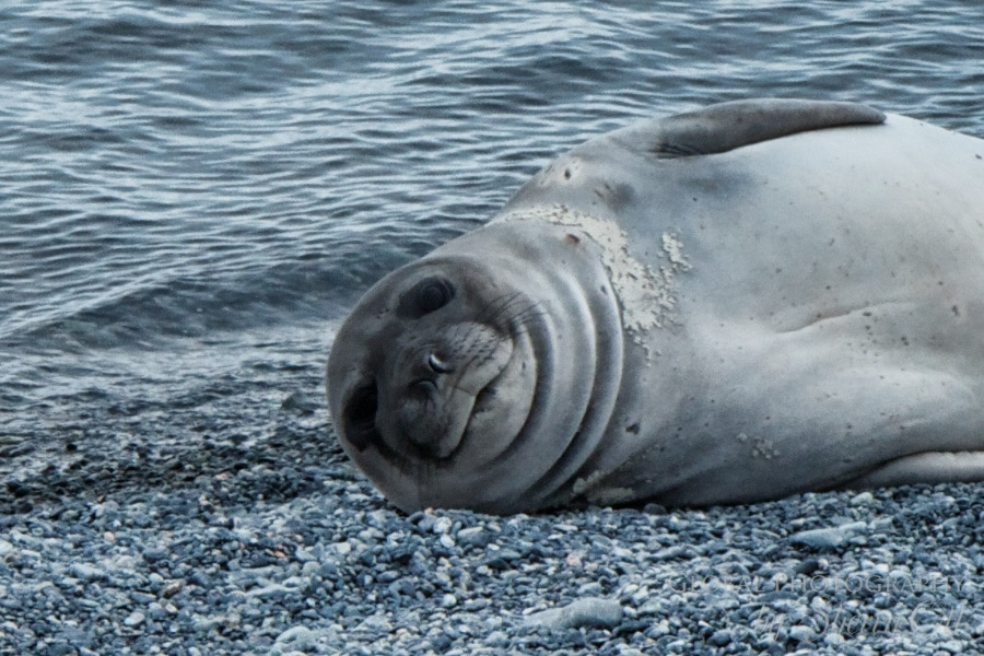 A sleepy baby elephant seal checks us out