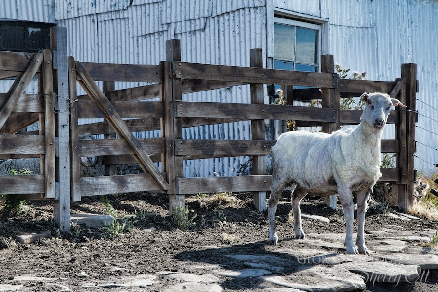 sheep sheeaing patagonia