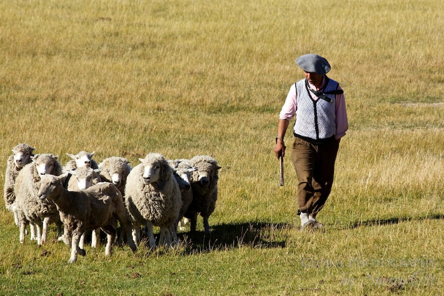 gaucho sheep
