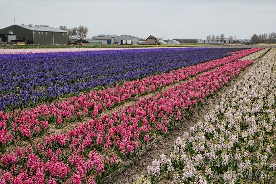Holland Flower Fields