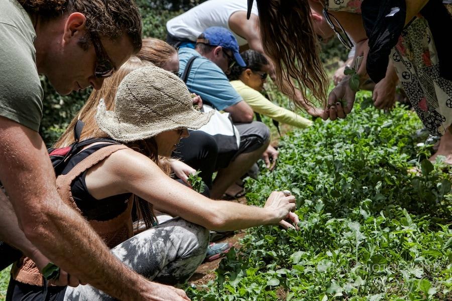 picking vegetables maui