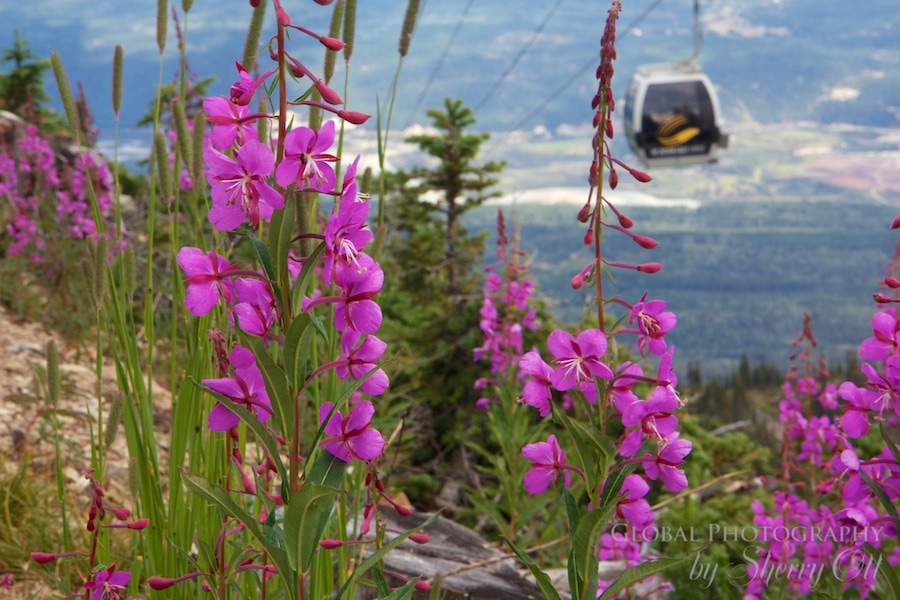 kicking horse mountain summer