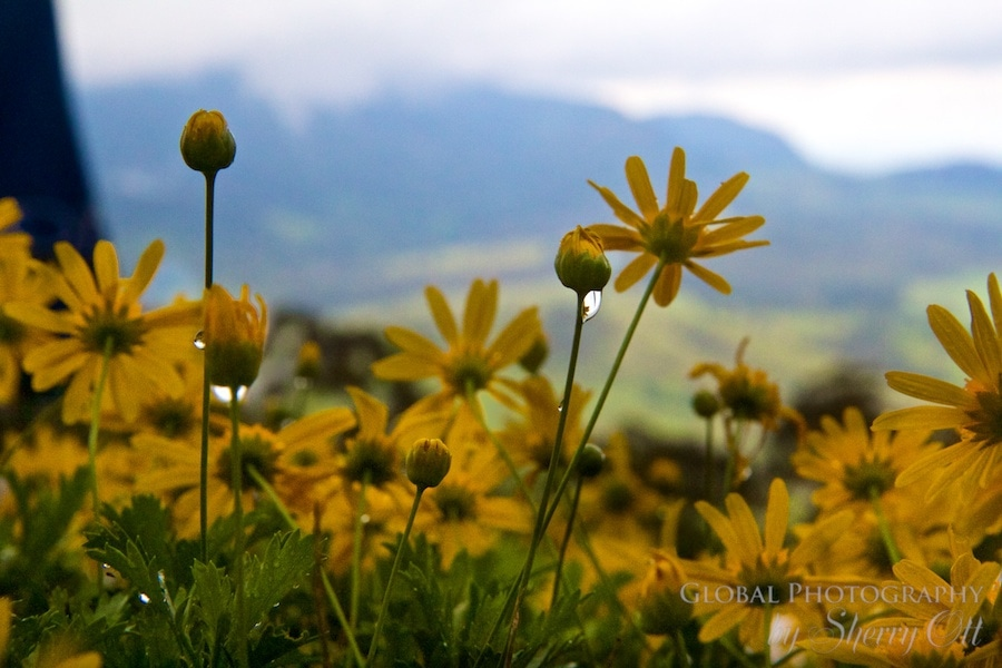 daisy rain