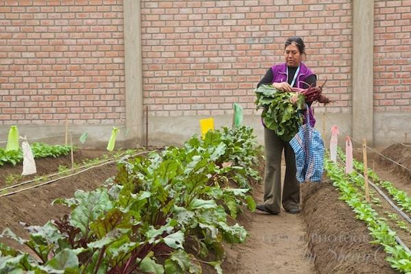 Garden at Zapallal - feeding 5o kids and volunteers