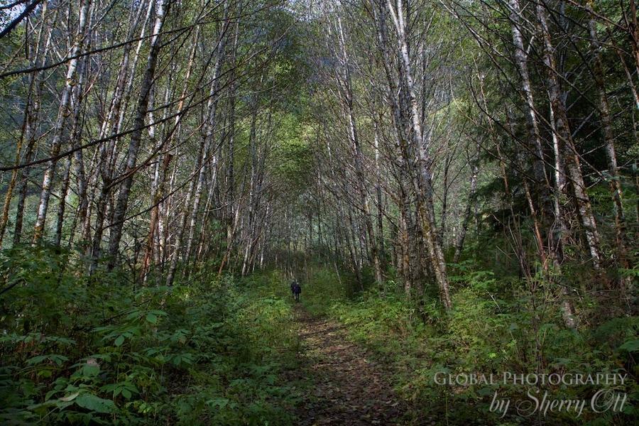 looking for bears great bear rainforest
