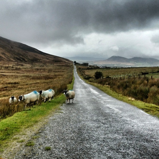 sheep wild atlantic way