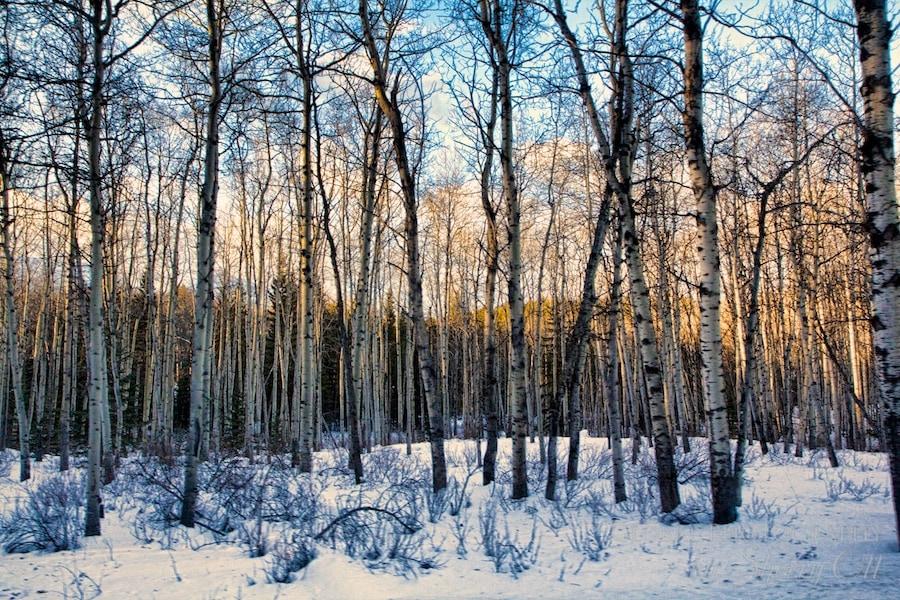 Jasper National Park Trees