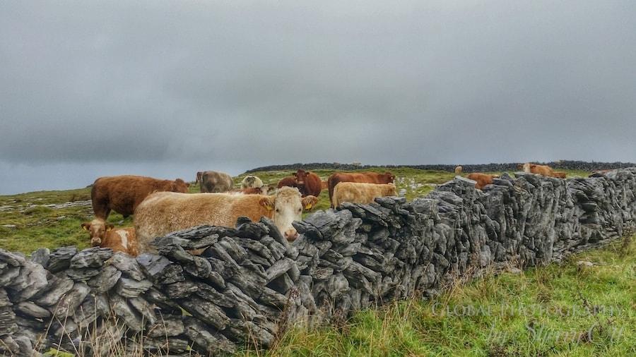 burren walking trail cows