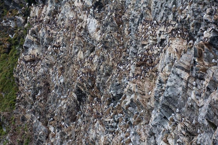 Wrangel Island bird cliffs