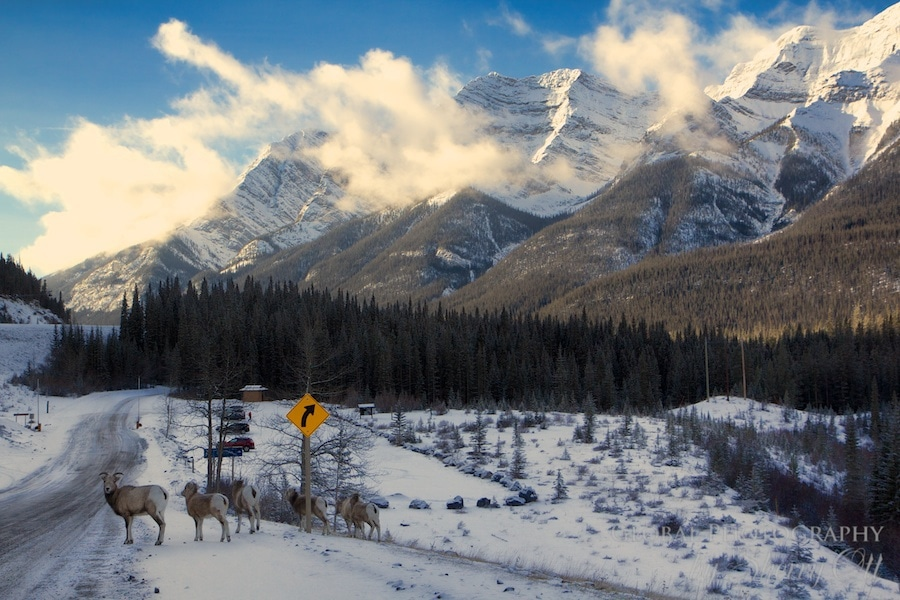 winter deer alberta canada