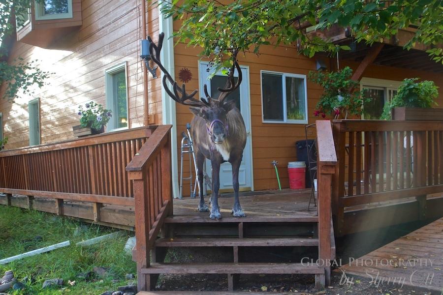 Reindeers are gentle Running Reindeer Ranch