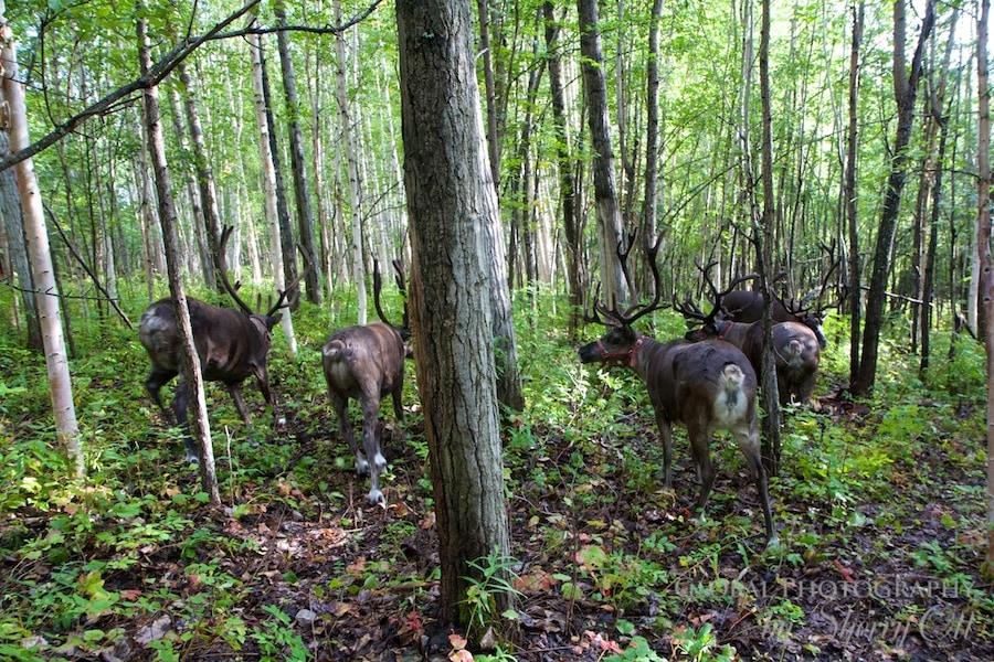 walking with reindeer fairbanks alaska
