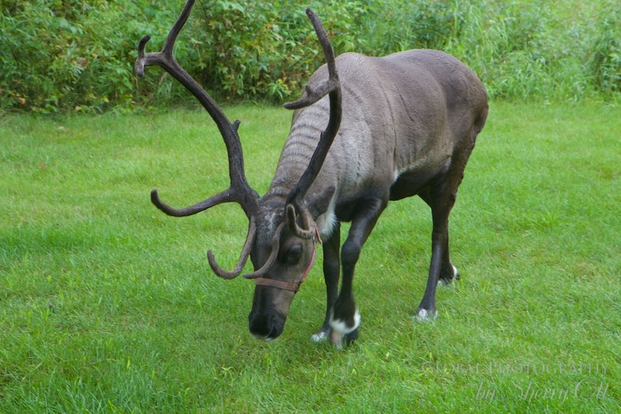 Running reindeer ranch fairbanks