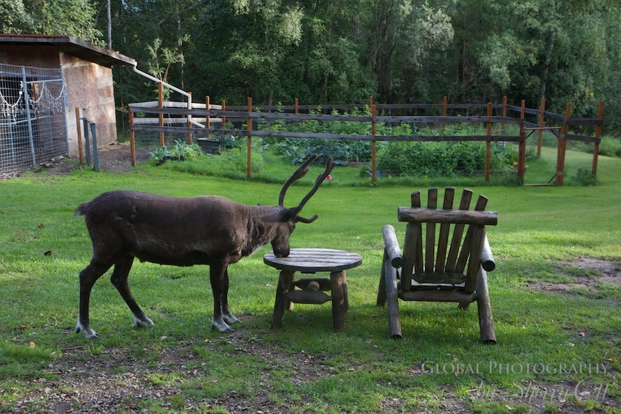 Reindeer are domesticated animals