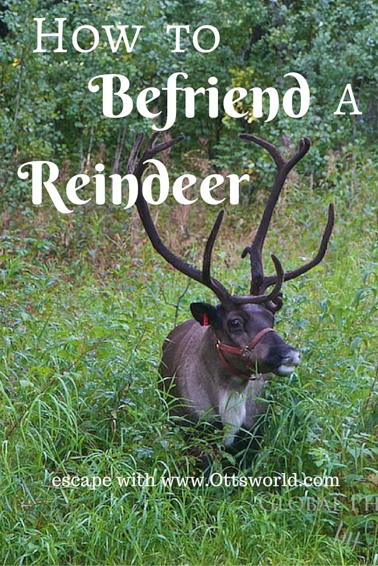 How I nearly got run over by a reindeer and fulfilled a childhood dream at Running Reindeer Ranch in Fairbanks Alaska!