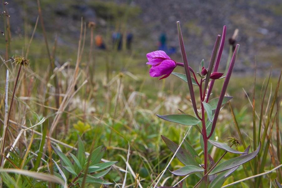tundra plants fireweed
