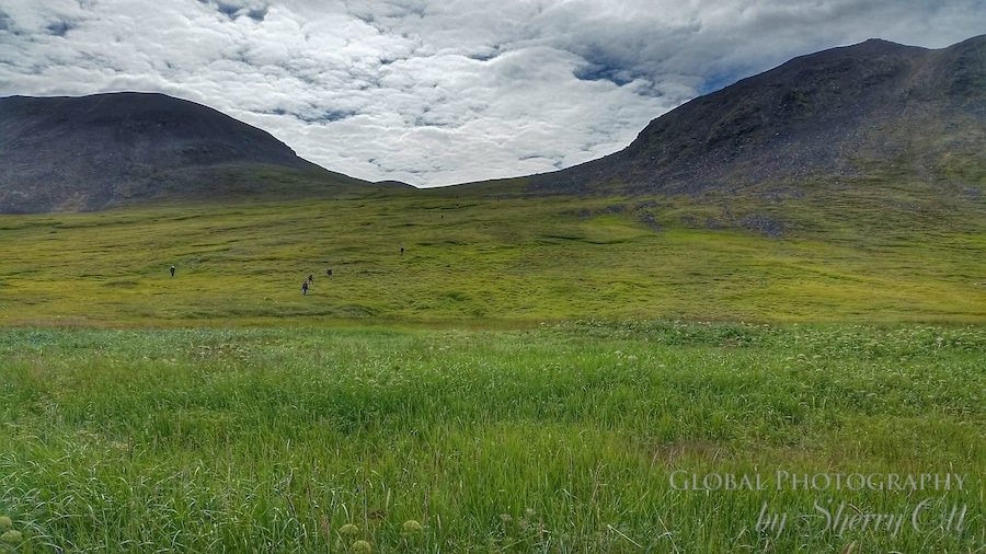 tundra plants sub arctic