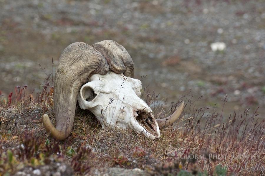 animals in the arctic muskox