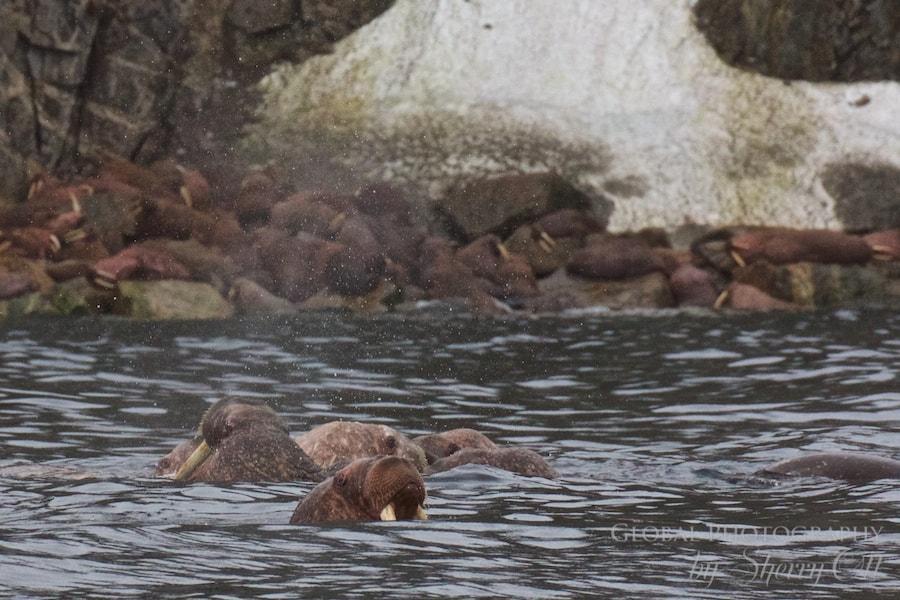 animals in the arctic walrus