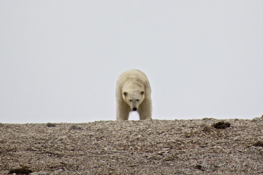 polar bear wrangel island