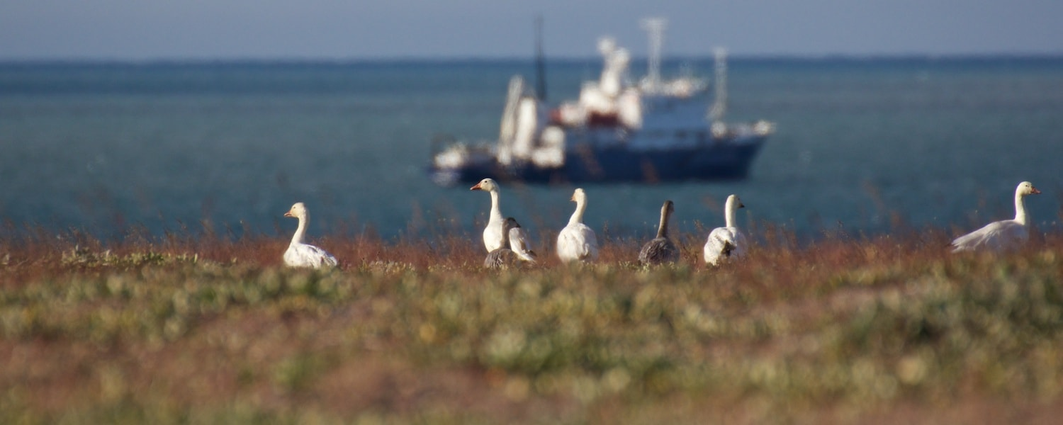 animals of the arctic snow geese
