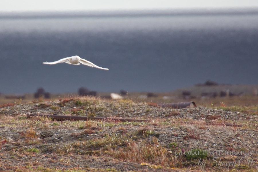animals in the arctic snowy owl