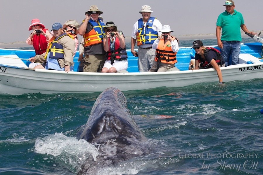 gray whale migration mexico