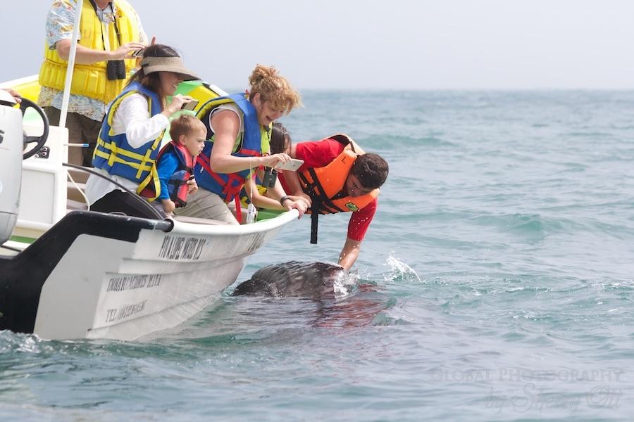 Pet a Gray Whale Magdalena Bay