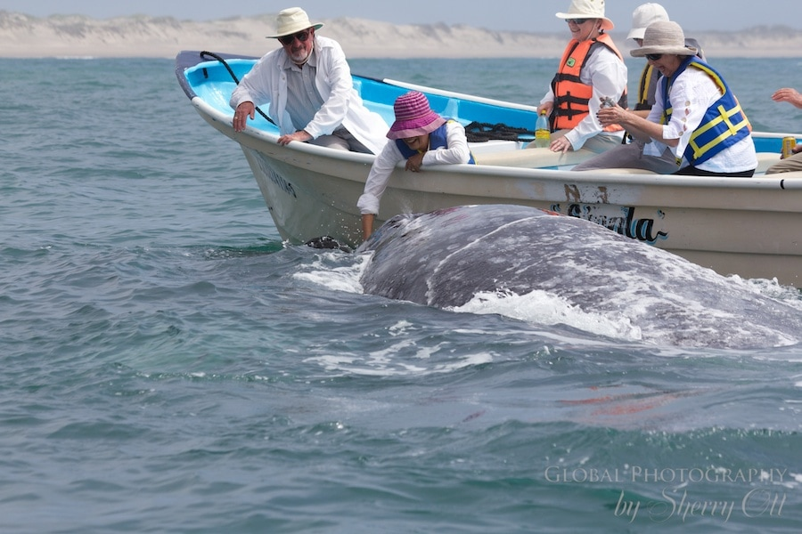 Pet a Gray Whale in the wild