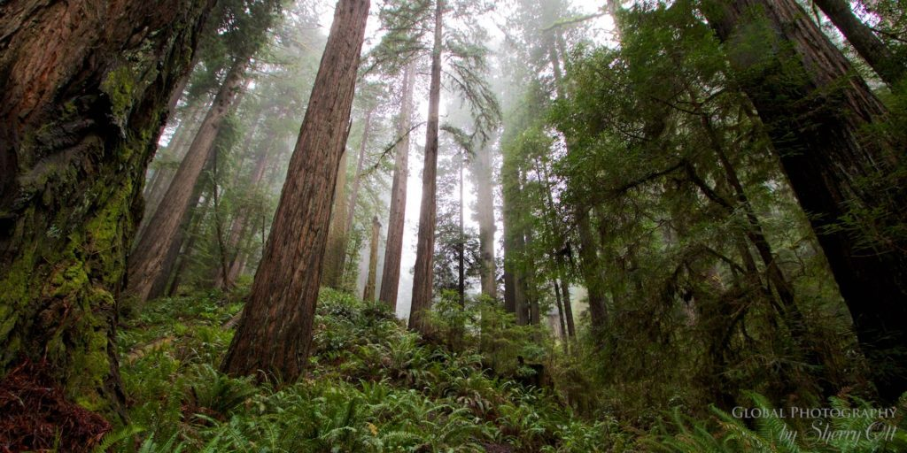 simple forest bathing redwoods national park