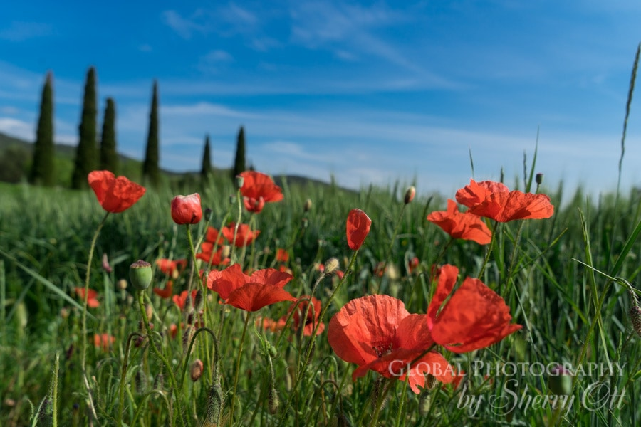 poppies along the Sant Miquel Hike Girona