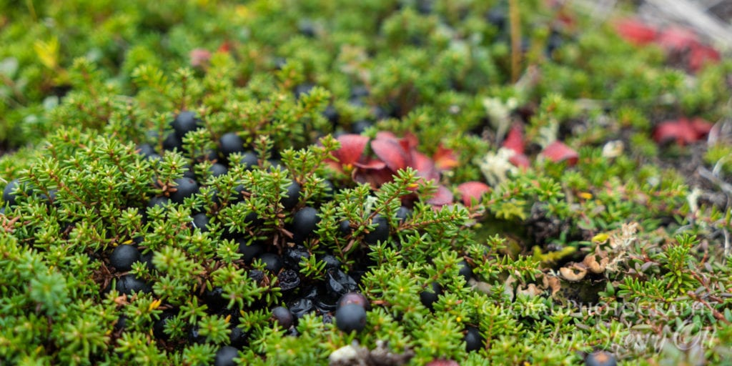 tundra blueberries