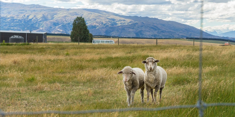 local sheep farm in new zealand