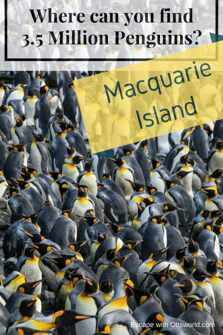 Where can you find 3.5 million penguins & 80,000 elephant seals? Go to Macquarie Island a remote wildlife wonderland.